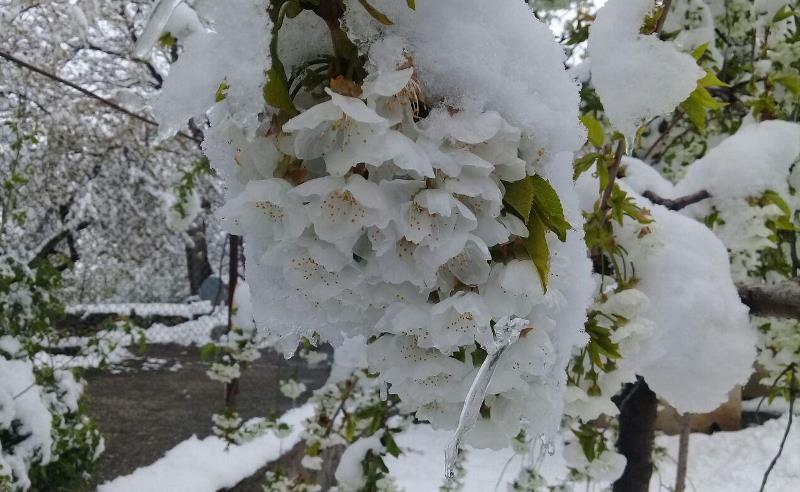 سرما به ۶۰ تا ۱۰۰ درصد درختان میوه پیش رس البرز خسارت زد