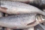 مصرف ماهی در ایران نصف سرانه جهانی است
