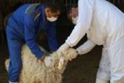 گوسفند زنده چند؟