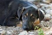 البرز در کنترل جمعیت سگهای ولگرد موفق عمل نکرده است
