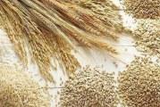 تولید گندم البرز حداکثر کفاف مصرف ۲ ماه استان را میدهد