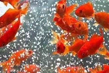 شهروندان مراقب باشند/ تشخیص ماهی قرمز سالم از بیمار کار ساده ای نیست