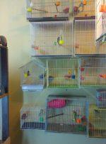 عرضه مرغ پیر در پرنده فروشیهای میدان کرج!