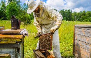 گرده افشانی با زنبور محصولات کشاورزی را ۵ برابر می کند
